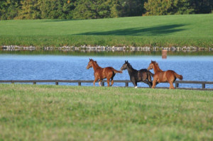 3 Thoroughbred Horses